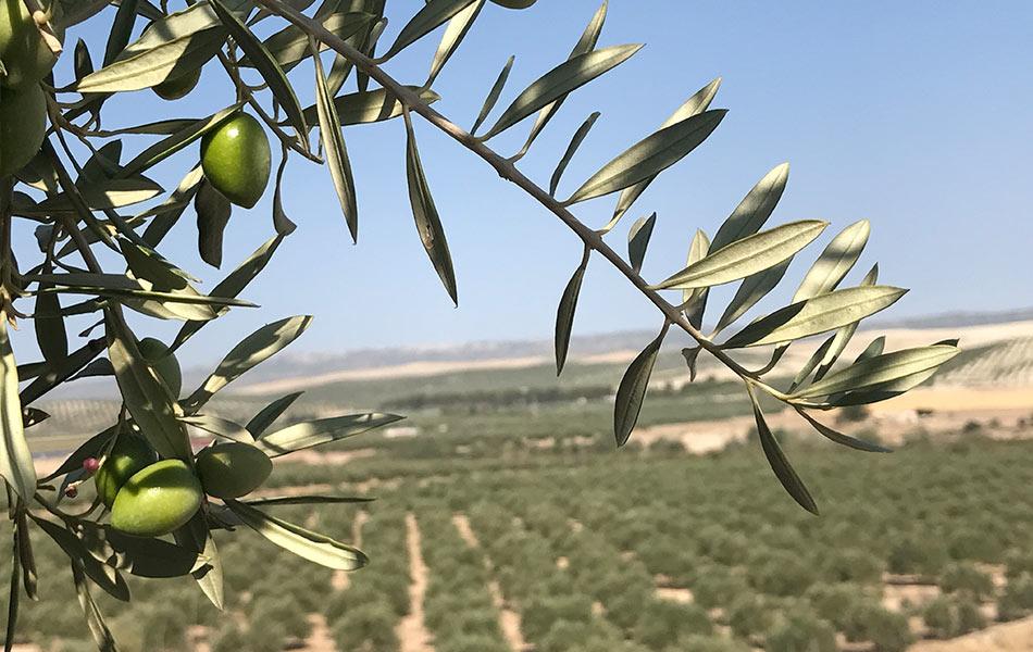 olivos-despensa-san-nicolas-4.jpg